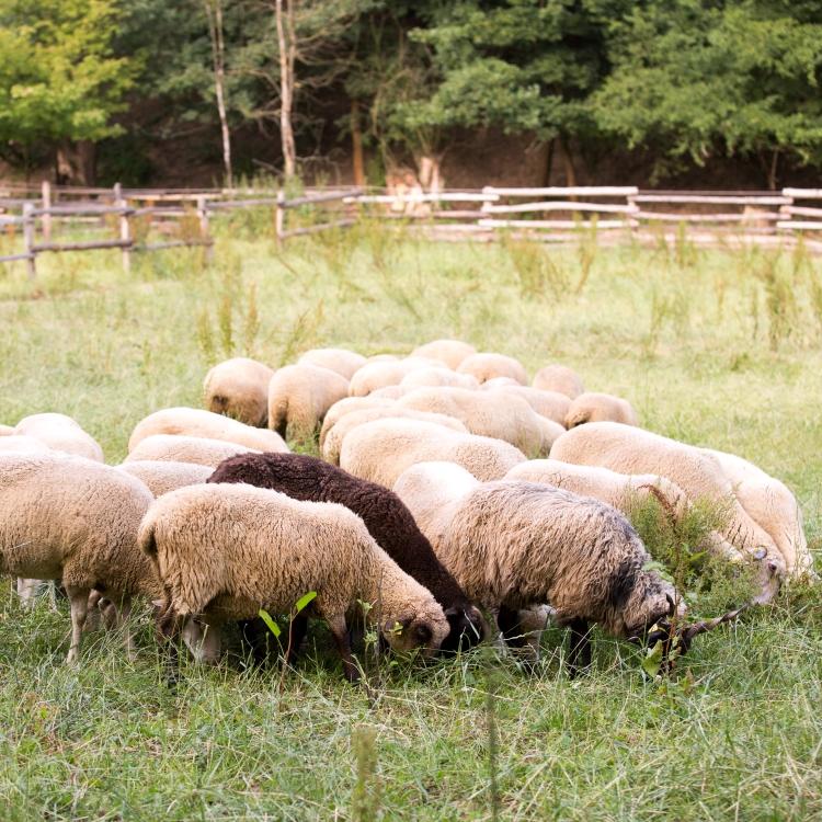ovce minifarma