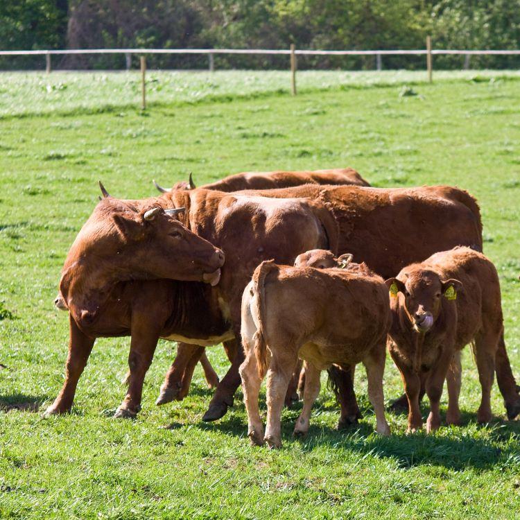 Gazdovstvo Uhliská Minifarma kravy750